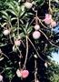 Anacardiaceae - Mangifera indica