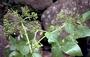 Apiaceae - Peucedanum sandwicense