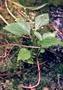 Asteraceae - Adenostemma viscosum