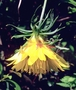 Asteraceae - Bidens cosmoides