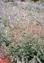 Asteraceae - Bidens pilosa
