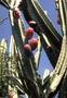 Cactaceae - Cereus uruguayanus