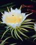 Cactaceae - Hylocereus undatus