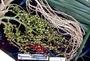 Arecaceae - Archontophoenix alexandrae