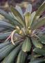 Campanulaceae - Clermontia arborescens subsp. waikoluensis
