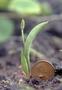 Ophioglossaceae - Ophioglossum polyphyllum