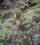 Arecaceae - Pritchardia glabrata