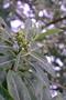 Apocynaceae - Rauvolfia sandwicensis