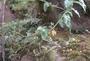 Polygonaceae - Rumex albescens