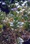 Lamiaceae - Vitex rotundifolia