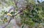 Thymelaeaceae - Wikstroemia monticola