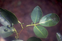 Rutaceae - Zanthoxylum dipetalum var. dipetalum