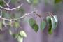 Rutaceae - Zanthoxylum hawaiiense
