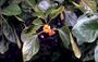 Boraginaceae - Cordia subcordata