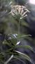 Rubiaceae - Kadua formosa