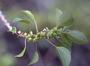 Urticaceae - Neraudia ovata