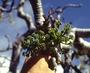 Araliaceae - Polyscias sandwicensis