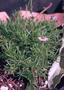 Asteraceae - Tetramolopium filiforme var. filiforme