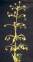 Asteraceae - Wilkesia hobdyi