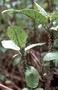 Campanulaceae - Cyanea mceldowneyi
