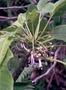 Campanulaceae - Cyanea coriacea