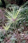 Campanulaceae - Cyanea kuhihewa