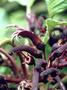 Campanulaceae - Cyanea remyi