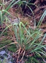 Cyperaceae - Carex alligata