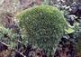 Cyperaceae - Oreobolus furcatus