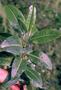 Euphorbiaceae - Euphorbia remyi var. kauaiensis