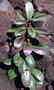 Euphorbiaceae - Euphorbia remyi var. remyi
