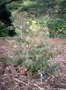 Phyllanthaceae - Flueggea neowawraea