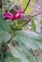 Fabaceae - Canavalia hawaiiensis