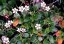 Geraniaceae - Geranium cuneatum subsp. cuneatum