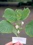 Gesneriaceae - Cyrtandra subumbellata