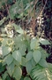 Lamiaceae - Phyllostegia electra