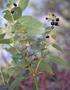 Lamiaceae - Phyllostegia glabra var. glabra