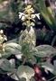 Lamiaceae - Phyllostegia renovans