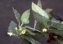 Lamiaceae - Stenogyne campanulata