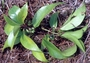 Lamiaceae - Stenogyne kealiae