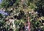 Lauraceae - Persea americana