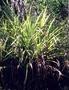 Asteliaceae - Astelia menziesiana