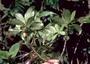 Loganiaceae - Labordia lydgatei