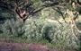 Malvaceae - Hibiscadelphus distans