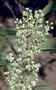 Oleaceae - Nestegis sandwicensis