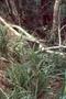 Poaceae - Panicum nephelophilum