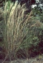 Poaceae - Schizachyrium condensatum
