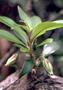 Primulaceae - Lysimachia kalalauensis