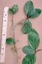 Primulaceae - Embelia pacifica