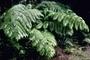 Cibotiaceae - Cibotium glaucum